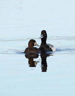 Landscape Photos Chad Dutson - Ring Neck Duck- Mated Pair by Whispering Peaks Photography