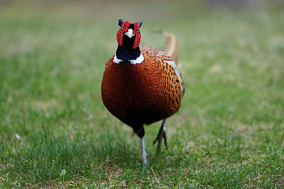 Curtis Patterson Rights Managed Images - Ring-necked Pheasant Royalty-Free Image by Curtis Patterson