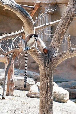 Photograph - Ring tailed Lemur sitting by Beautiful Things