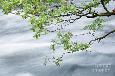 Photograph - River Rothay oak 2 by Gavin Dronfield
