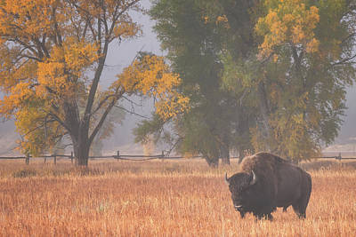 Royalty-Free and Rights-Managed Images - Roaming Bison by Darren White