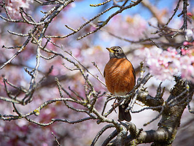 Photograph - Robin and Cherry Blossoms by Keith Boone