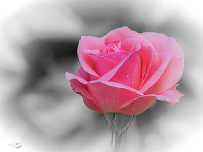 Af Vogue - Romantic pinkish rose with a raindrop by Torbjorn Swenelius