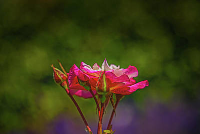 Rose - Rose Profile #l2 by Leif Sohlman
