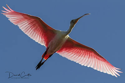 Animals Royalty-Free and Rights-Managed Images - Roseate Spoonbill by David Cutts