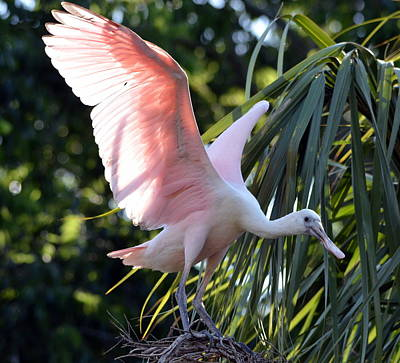 Animals Photos - Roseate Spoonbill on Treetop Nest by Carla Parris