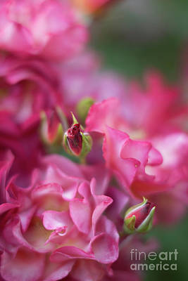 Royalty-Free and Rights-Managed Images - Roses Flourish of Beauties by Mike Reid
