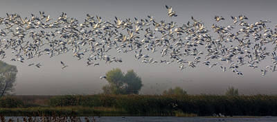 Photograph - Ross's Geese by Nick Borelli