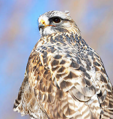 Steven Krull Royalty-Free and Rights-Managed Images - Rough Legged Hawk Portrait by Steven Krull