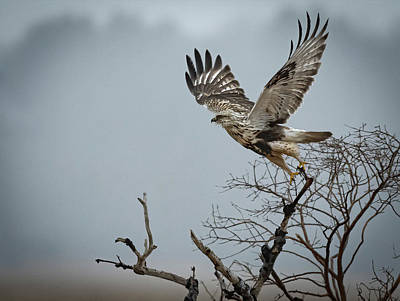 Soap Suds - Rough-legged Hawk take off horizontal by Hershey Art Images