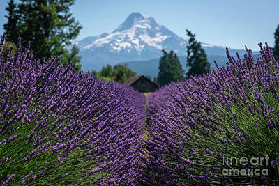 Royalty-Free and Rights-Managed Images - Rows of Lavender  by Michael Ver Sprill
