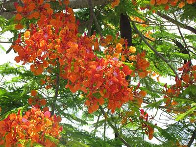 Photograph - Royal Poinciana Flowers by Ian Sands by Ian Sands