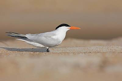 Lori A Cash Royalty-Free and Rights-Managed Images - Royal Tern on Beach by Lori A Cash