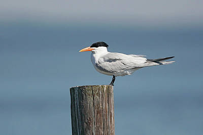 Lori A Cash Royalty-Free and Rights-Managed Images - Royal Tern on Post by Lori A Cash