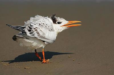 Lori A Cash Royalty-Free and Rights-Managed Images - Royal Tern Squawking by Lori A Cash