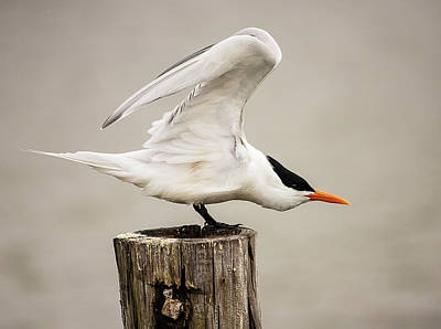 Lori A Cash Royalty-Free and Rights-Managed Images - Royal Tern Stretching by Lori A Cash