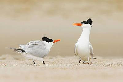 Lori A Cash Royalty-Free and Rights-Managed Images - Royal Terns Courting Display by Lori A Cash