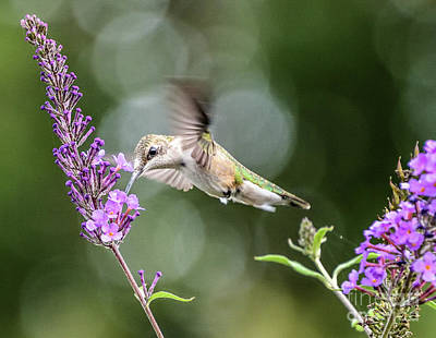 Food And Flowers Still Life Rights Managed Images - Ruby-thraoted Hummingbird Fueling Up For Migration Royalty-Free Image by Cindy Treger