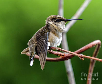 Uncle Sam Posters - Ruby-throated Hummingbird After The Stretch by Cindy Treger
