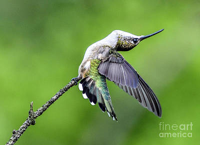 Door Locks And Handles Rights Managed Images - Ruby-throated Hummingbird Bending Over Backwards Royalty-Free Image by Cindy Treger