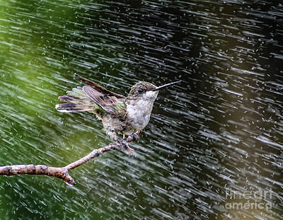 Tina Turner - Ruby-throated Hummingbird Delighted By Sprinkler by Cindy Treger