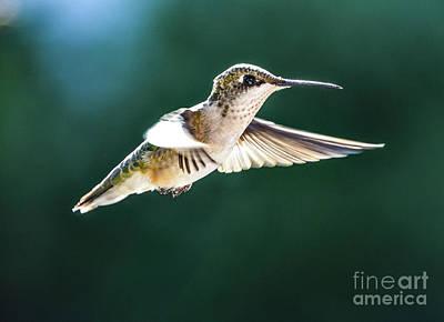 Mid Century Modern - Ruby-throated Hummingbird In Morning Flight by Cindy Treger