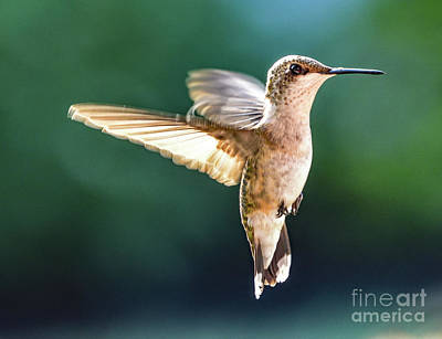 Graduation Sayings - Ruby-throated Hummingbird In The Blue Light by Cindy Treger