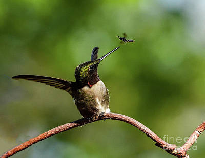 Black And White Flower Photography - Ruby-throated Hummingbird Is Not Intimidated By A Bug by Cindy Treger