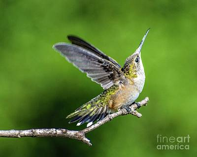 Wild Weather - Ruby-throated Hummingbird Stretching by Cindy Treger