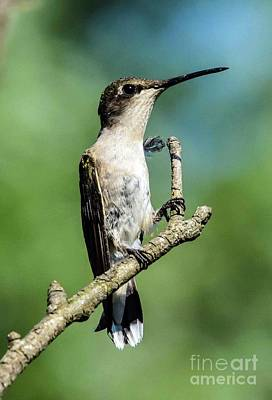 Bath Time Rights Managed Images - Ruby-throated hummingbird With A Wild Feather Royalty-Free Image by Cindy Treger