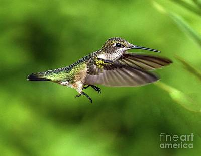 American Milestones - ruby-throated Hummingbird With His Feet Ready For Gripping The Branch by Cindy Treger