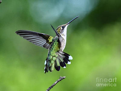Mid Century Modern - Ruby-throated Hummingbird With Perfct Form by Cindy Treger