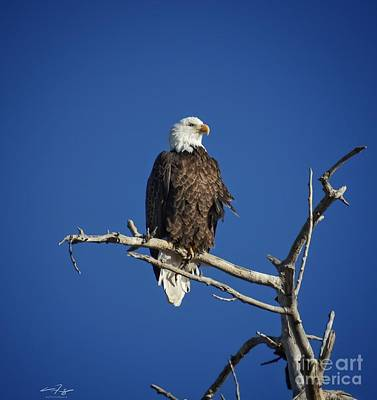 Royalty-Free and Rights-Managed Images - Ruffled Bald Eagle by Christopher Thomas
