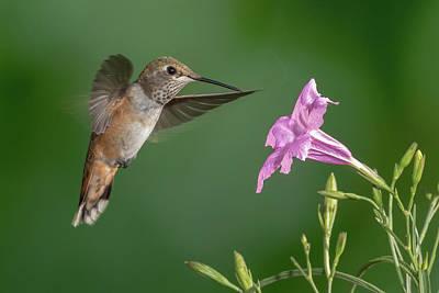 Thomas Kinkade Royalty Free Images - Rufous Hummingbird ala Victrola Royalty-Free Image by James Capo