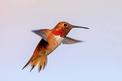 Thomas Kinkade Royalty Free Images - Rufous Hummingbird Royalty-Free Image by Jack Bell