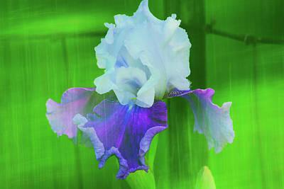 Photograph - Rustic Ringo Iris by Alan C Wade