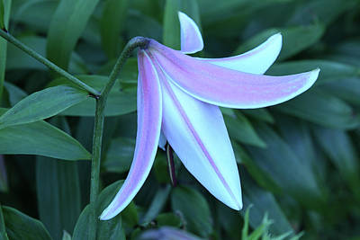 Stellar Interstellar Royalty Free Images - Sad And Lovely Lily Royalty-Free Image by Robert Tubesing