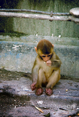 Lovely Lavender - Sad Baby Monkey Sitting on some Steps in Nepal by Wernher Krutein