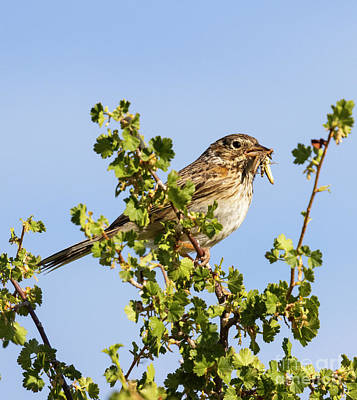 Steven Krull Royalty-Free and Rights-Managed Images - Sage Sparrow on a Perch by Steven Krull