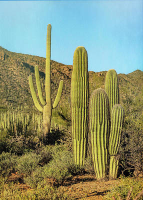 Abstract Graphics Rights Managed Images - Saguaro Family Portrait Royalty-Free Image by Stephen Stookey