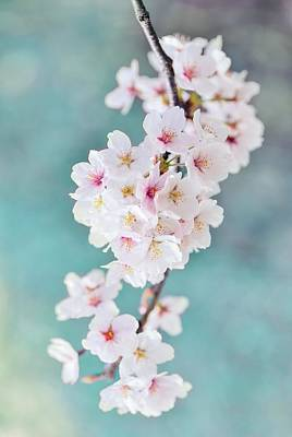 Royalty-Free and Rights-Managed Images - Sakura by Marianna Mills