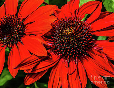 Fruits And Vegetables Still Life - Salsa Red Coneflowers by Cindy Treger