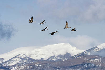 Steven Krull Royalty-Free and Rights-Managed Images - Sand Hill Cranes and Mountains by Steven Krull