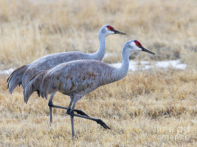 Steven Krull Royalty-Free and Rights-Managed Images - Sand Hill Cranes in Sync by Steven Krull
