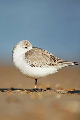 Lori A Cash Royalty-Free and Rights-Managed Images - Sanderling Resting by Lori A Cash