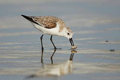 Lori A Cash Royalty-Free and Rights-Managed Images - Sanderling with Mole Crab by Lori A Cash