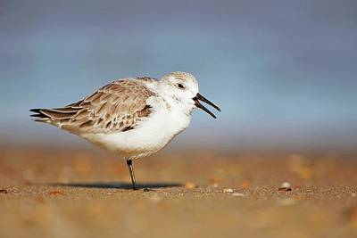 Lori A Cash Royalty-Free and Rights-Managed Images - Sanderling Yawning by Lori A Cash