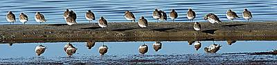 Lori A Cash Royalty-Free and Rights-Managed Images - Sanderlings Reflection in Water by Lori A Cash