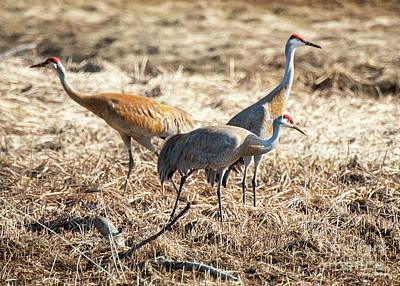 Animals Photos - Sandhill Crane 1 by Steven Natanson