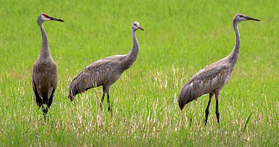 Santas Reindeers Royalty Free Images - Sandhill Crane Family in Tichigan Royalty-Free Image by Ricky L Jones